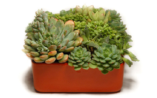 mothers_day_succulents.jpg