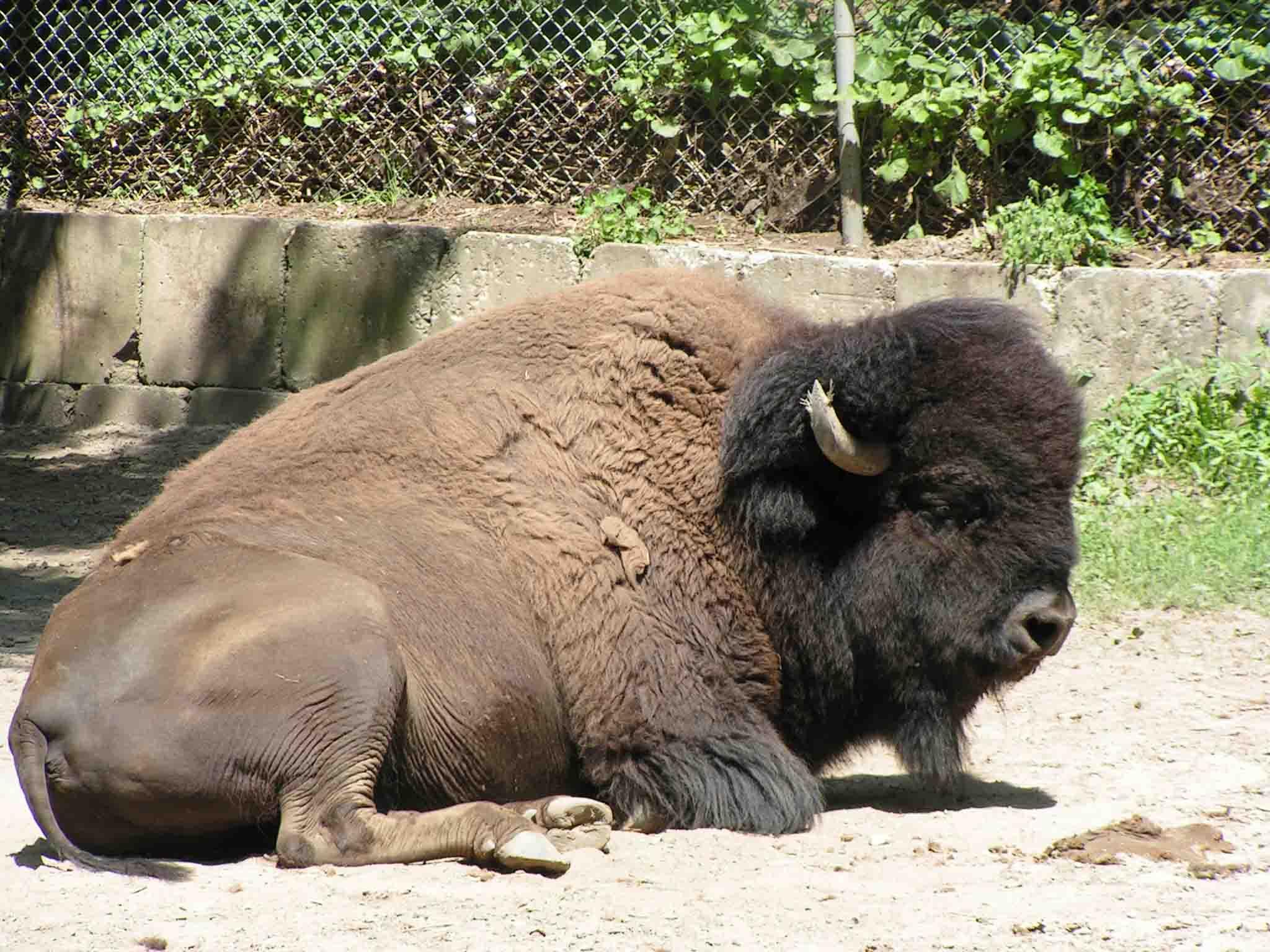 toronto_zoo_bison.jpg