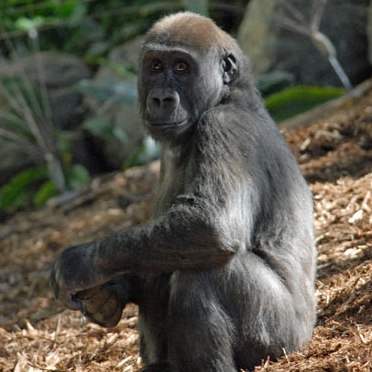 toronto_zoo_gorilla.png