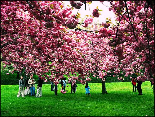 Last_weekend_cherry_blossoms.jpg