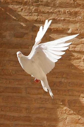 bounceback_dove.jpg