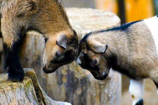 smackdown_goat.jpg