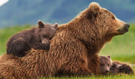 Bears by Disneynature Movie Review