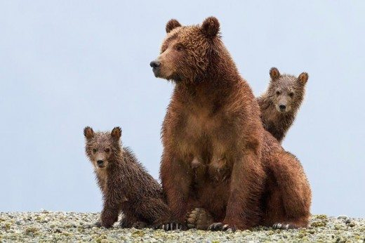 Bears Movie by Disneynature Review
