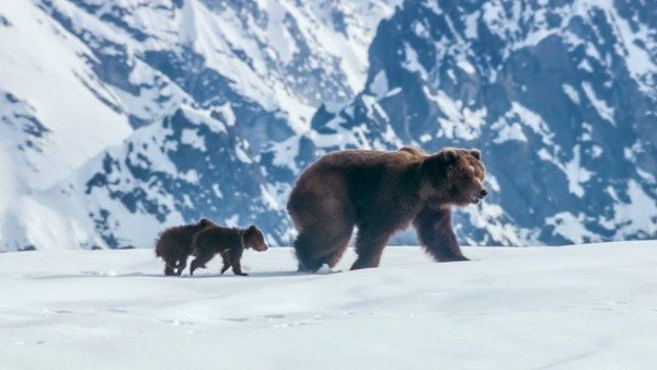 Must List: See Bears by Disneynature