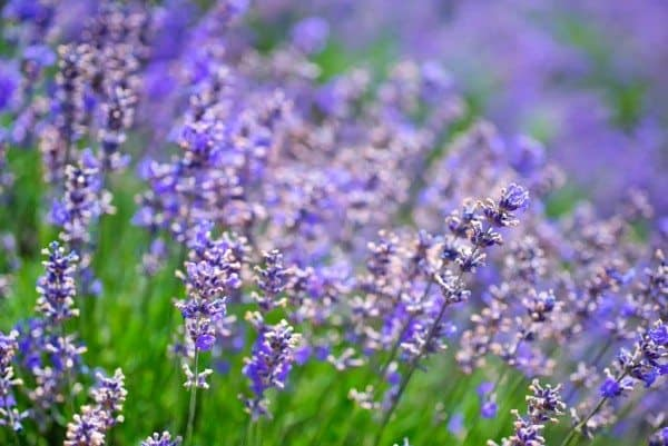 Lavender Oil, Revisited