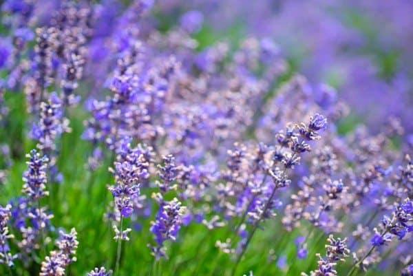 Lavender Oil, Revisited