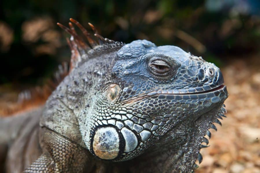 """Be the Iguana, kid"" (what you should say to your college-bound child) by Mir Kamin for Alphamom.com"