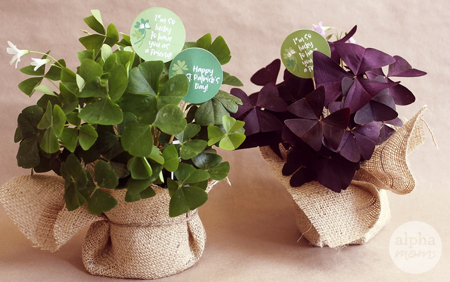 Shamrock Plants with St. Patrick's Day gift messages