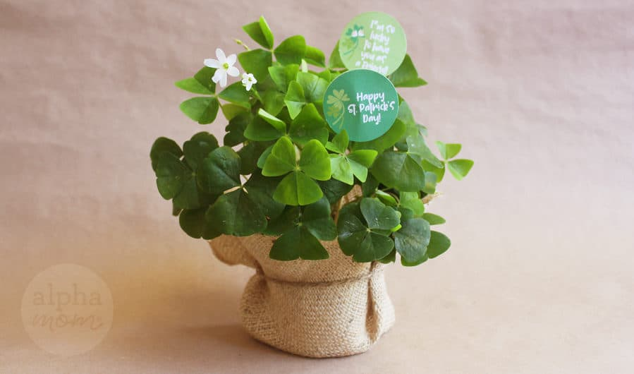 Shamrock Plant Gift for St. Patrick's Day