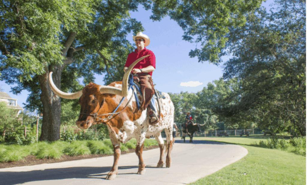 longhorn cattle at Regency Hyatt Lost Pines Resort in Texas